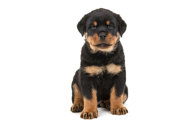 Rottweiler-puppy-6-weeks-old-sitting-on-a-white-background