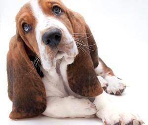 wall-murals-basset-hound-puppy-closeup.jpg 2